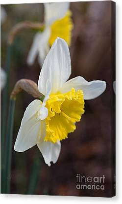 Canvas Print - Spring Into Spring Daffodils by Joy Watson