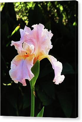 Spring Iris Canvas Print by Jeanette Oberholtzer