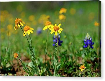 Spring Jig Canvas Print by Bill Morgenstern