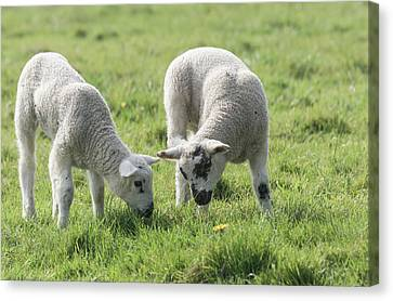 Canvas Print featuring the photograph Spring Lambs by Scott Carruthers