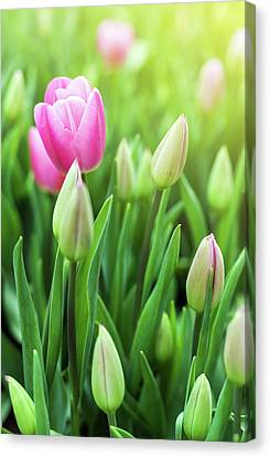 Spring Meadow With Violet Tulip Flowers, Floral Sunny Seasonal B Canvas Print