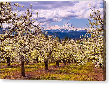 Spring Morning In The Orchard Canvas Print