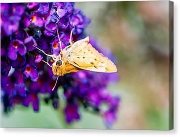Spring Moth Canvas Print