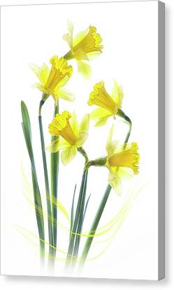 Spring Narcissus Canvas Print by Jacky Parker