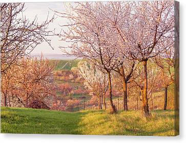 Canvas Print featuring the photograph Spring Orchard With Morring Sun by Jenny Rainbow