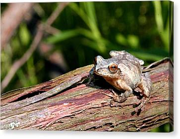 Spring Peeper Canvas Print by Betsy LaMere