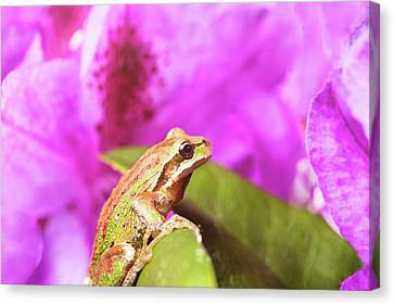 Spring Peeper Frog Inside Of Wild Flowers During Bright Daylight Canvas Print