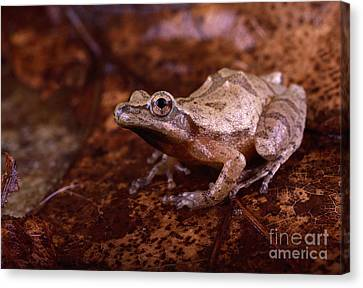 Spring Peeper Canvas Print by Lynda Richardson