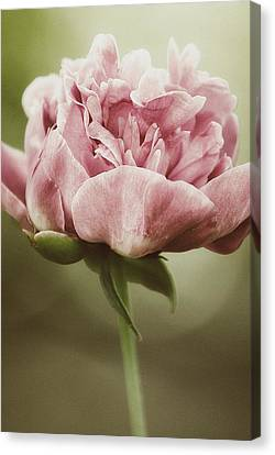 Spring Peony Canvas Print by Tracy  Jade