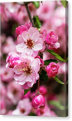 Spring Pink Canvas Print by Teri Virbickis