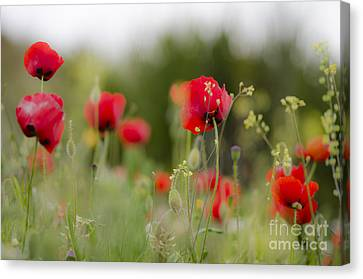 Spring Poppies  Canvas Print by Perry Van Munster