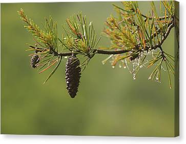 Spring Rain And Pinecone Canvas Print by Michael Eingle