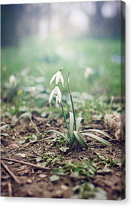 Spring Rising Canvas Print by Heather Applegate
