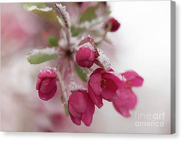Canvas Print featuring the photograph Spring Snow by Ana V Ramirez