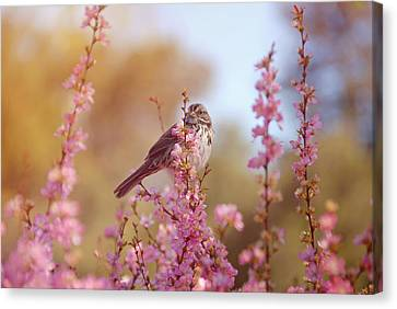 Canvas Print featuring the photograph Spring Sparrow by Lynn Bauer