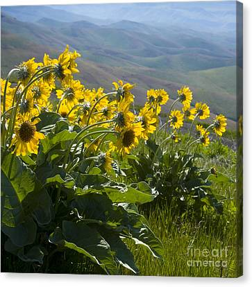 Spring Sunflowers Canvas Print by Idaho Scenic Images Linda Lantzy