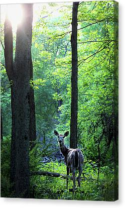 Spring Sunset On White-tailed Doe Canvas Print by Codee Hart