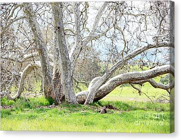 Spring Sycamore Tree Canvas Print by Carol Groenen