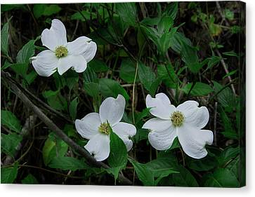 Canvas Print featuring the photograph Spring Time Dogwood by Mike Eingle