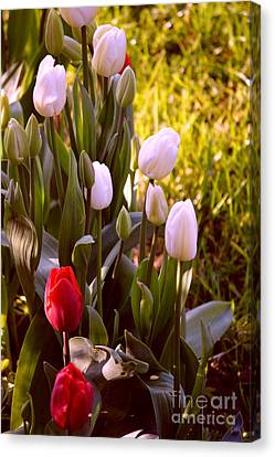 Canvas Print featuring the photograph Spring Time Tulips by Susanne Van Hulst