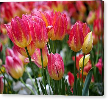 Spring Tulips In The Rain Canvas Print by Rona Black