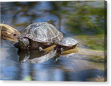 Spring Turtle Baby Canvas Print