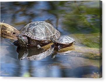 Spring Turtle Baby Canvas Print by John Haldane