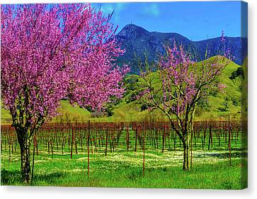 Spring Vineyards And Mt St Helena Canvas Print by Garry Gay