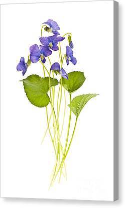 Spring Violets On White Canvas Print by Elena Elisseeva
