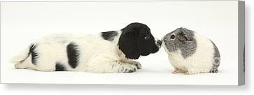 Springer Spaniel Puppy And Guinea Pig Canvas Print