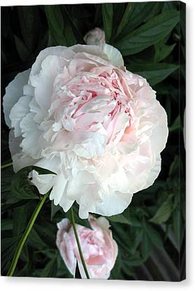 Canvas Print featuring the photograph Springs Peony by Carol Sweetwood