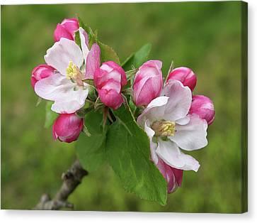 Springtime Apple Blossom Canvas Print by Gill Billington