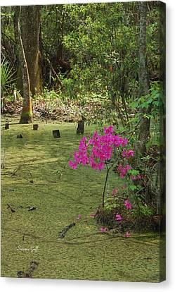 Springtime At The Audubon Swamp Garden Canvas Print by Suzanne Gaff