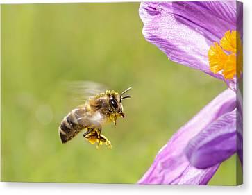 Springtime - Bee In Flight Canvas Print