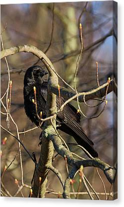 Canvas Print featuring the photograph Springtime Crow by Bill Wakeley