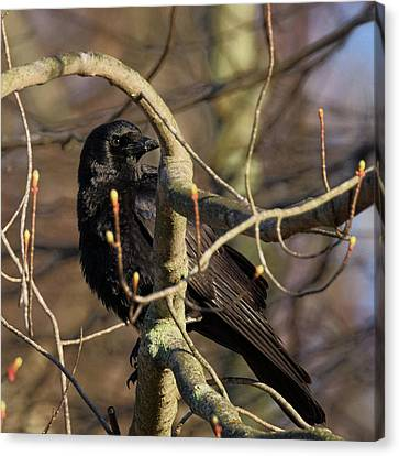 Crows Canvas Print - Springtime Crow Square by Bill Wakeley