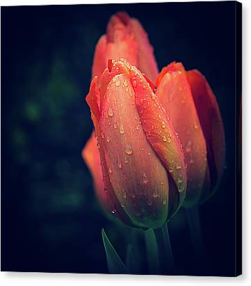 Canvas Print featuring the photograph Springtime Orange Tulips With Drops by Julie Palencia