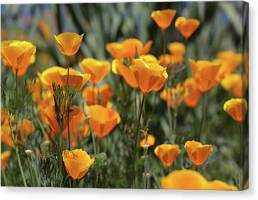 Canvas Print featuring the photograph Springtime  Super Bloom In California by Cliff Wassmann