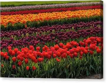 Canvas Print featuring the photograph Springtime Tulips by Susan Candelario