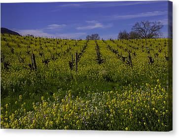 Springtime Vineyards Sonoma Canvas Print