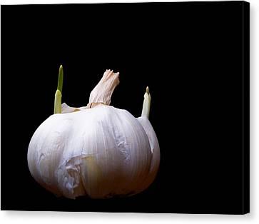 Sprouting Garlic Canvas Print by Jim DeLillo