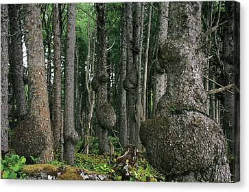 Spruce Burls Olympic National Park Wa Canvas Print
