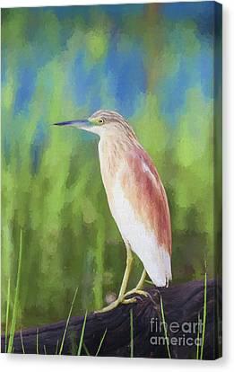 Squacco Heron Ardeola Ralloides Canvas Print