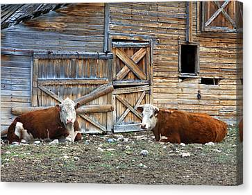 Squires Herefords By The Rustic Barn Canvas Print