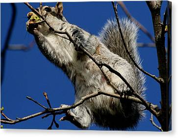 Squirrel 5 Up The Tree Canvas Print