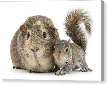 Squirrel And Guinea Canvas Print