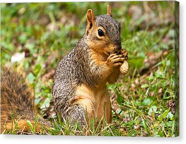 Fox Squirrel Canvas Print - Squirrel Eating A Peanut by James Marvin Phelps