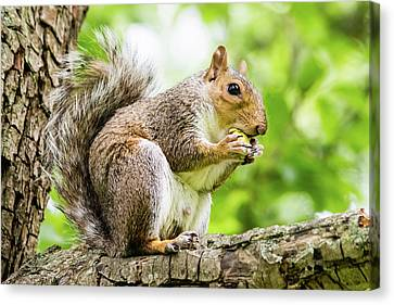 Squirrel Eating On A Branch Canvas Print