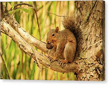 Squirrel In A Tree In The Marsh Canvas Print