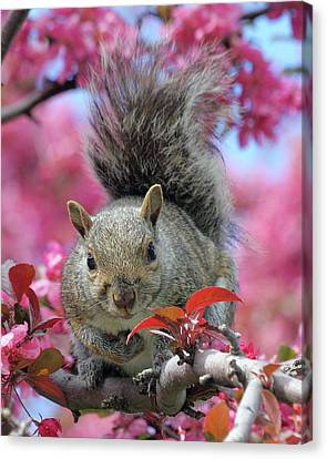 Canvas Print featuring the photograph Squirrel In Apple Blossoms by Doris Potter